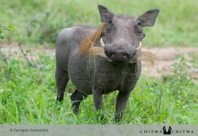 Chitwa Warthog