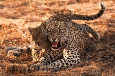 DRB-scowls-at-cub - 20Sept12 Londolozi
