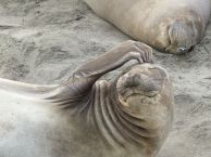 Elephant Seal in San Simeon, California - Photograph by Mike Gin