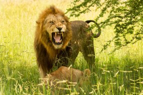 Hipscar snarling at bothersome cub