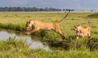 In the swamps Masai Mara - Isak Pretorius Wildlife Photography