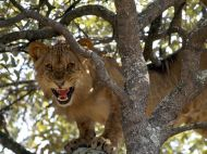Lion cub in tree - Zambesi