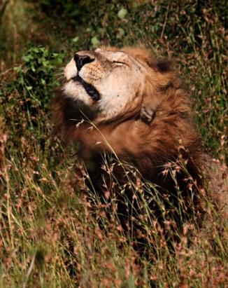 Lion-shaking-head-Scarface