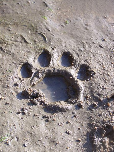Lioness spoor