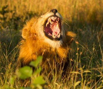 Lost canine tooth - Londolozi