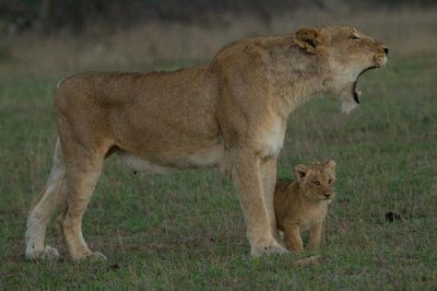 Mother and cub - Londolozi Aug2012