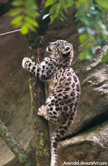 Snow Leopard cub up a tree