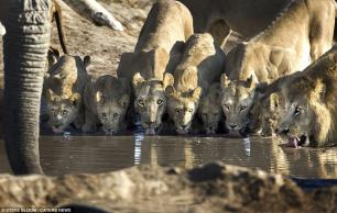 This picture shows an elephant drinking across a waterhole from a family of lions in Savuti, Northern Botswana #