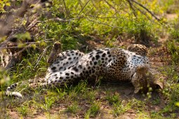 Tutlwa-rolls-on-back- 5Oct12 Londolozi