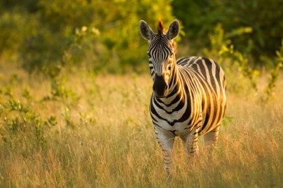 zebra watching Mashaba leopard