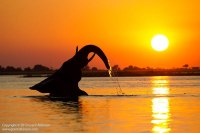 A young bull elephant playfully celebrates the Chobe river sunset