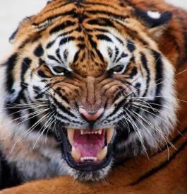 Bengal Tiger (2)