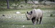 Black Rhino at Palmwag Cocession, Namibia