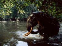 forest-elephant-water_Gabon