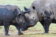 Lake Nakuru National Park March 2013 - Isak Pretorious Wildlife Photography