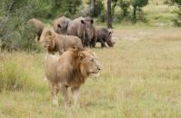 Lions and rhino
