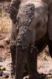 Mud-covered-ellie - 5Oct12 Londolozi