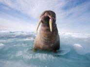 atlantic-walrus-canada_3650_990x742