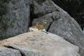 Klipspringer (Oreotragus oreotragus)