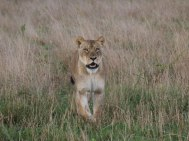 Looking for the cub