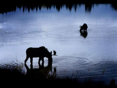 moose-snake-river_12102_990x742