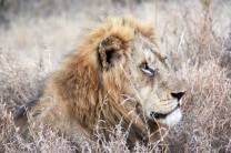 One of the Ross Pride, such a stunning lion he was. A very amazing and memorable experience. Photo taken by Tyla Johnson aged 16