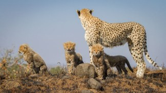 Quintessential cheetah pose on top of a termite mound. Kate Neill