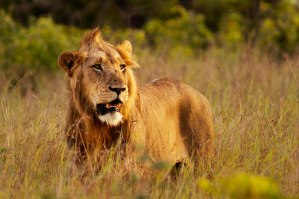 South-Pride-Male-in-long-grass