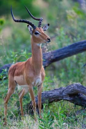 Startled impala