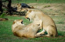 Taken in Chobe national park, Botswana by Fabio Chironi Photography