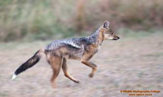 The Side Striped Jackal (Canis adustus) is a nocturnal, dog-like carnivore