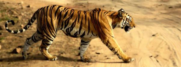 Tiger (Panthera tigris) is the largest cat species, reaching a total body length of up to 3.3 metres (11 ft) and weighing up to 306 kg (670 lb)