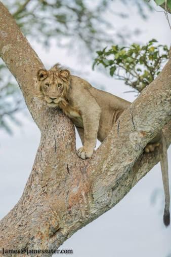 tree-climbing-lion-qenp-by-james-suter