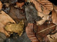 camouflaged-toads-1248230-082509_3624_990x742