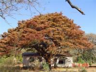 Msasa tree at Selukwe (Shurugwi)