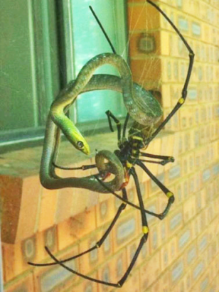 This giant spider is a Golden Orb Weaver from the genus Nephila. Believe it or not, it is taking down a Green Snake.