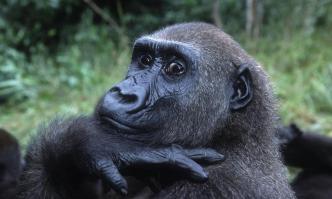 Western Lowland Gorilla - Photo © Martin Harvey