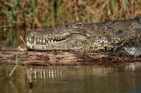 Crocodile warming up on the Okavango Delta, Botswana