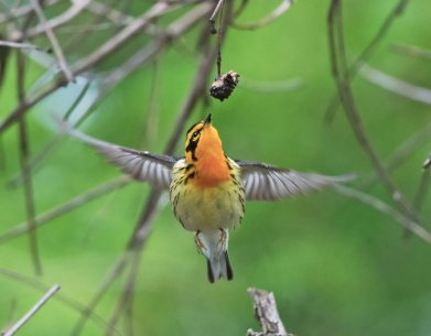 A Blackburnian Hummingbird-Warbler