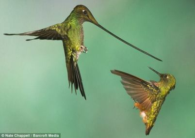 A Sword-billed Hummingbird - left - and a Chestnut-breasted Coronet