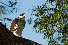 African Hawk Eagle - Londolozi