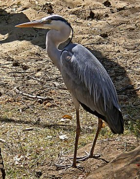 Black Headed Heron - Photo © Grayham Allott