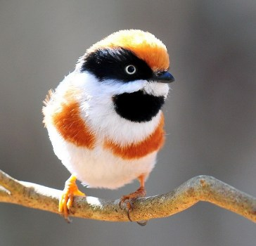 Black-throated Bushtit - Aegithalos concinnus, also known as the Black-throated Tit