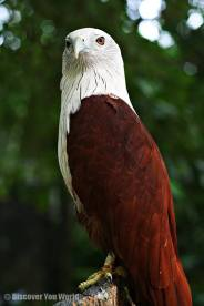 Brahminy Kite (India)