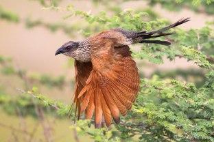 Coucal - Okavango - Isak Pretorious Wildlife Photography