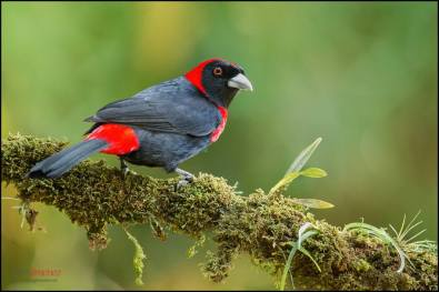 Crimson-collared Tanager - Ramphocelus sanguinolentus - in Costa Rica by Chris Jimenez.