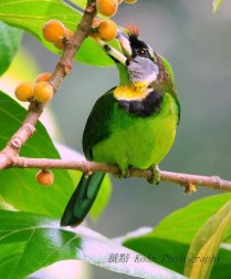 Fire-tufted Barbet (2)