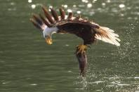 Fish Eagle in Canada by Michael Poliza Photographer