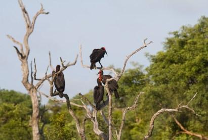 Ground Hornbills aloft