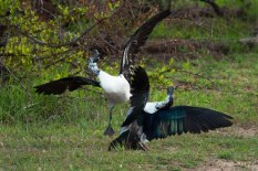 Knob-billed-ducks-fighting-2